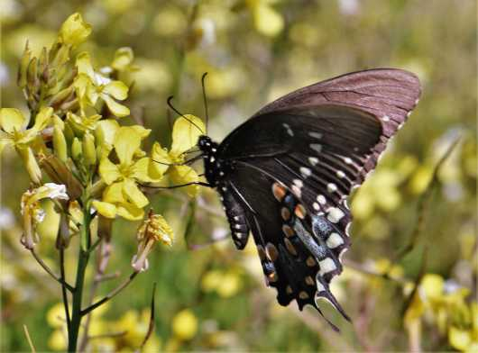 Black Swallow Tail on Mustard Weed  from the Flowers and Butterflies collection by Gobblers Ridge Art