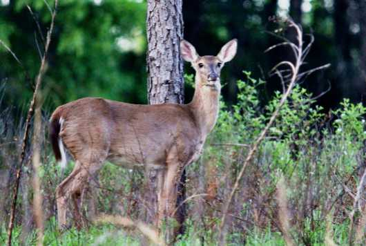 Perfectly Lighted 1 from the Deer collection by Gobblers Ridge Art