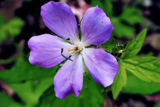 Wild Geranium from the Flowers and Butterflies collection by Gobblers Ridge Art