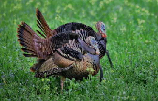 Double Trouble 2 from the Turkeys collection by Gobblers Ridge Art