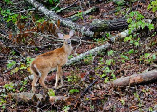 Blue Ridge Fawn from the Deer collection by Gobblers Ridge Art