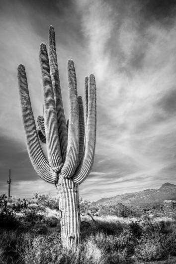 Saguaro from the DSN Fundraiser collection by Rachel Houghton
